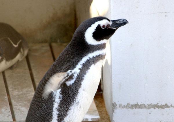 penguin-notojima-aquarium-ishikawa