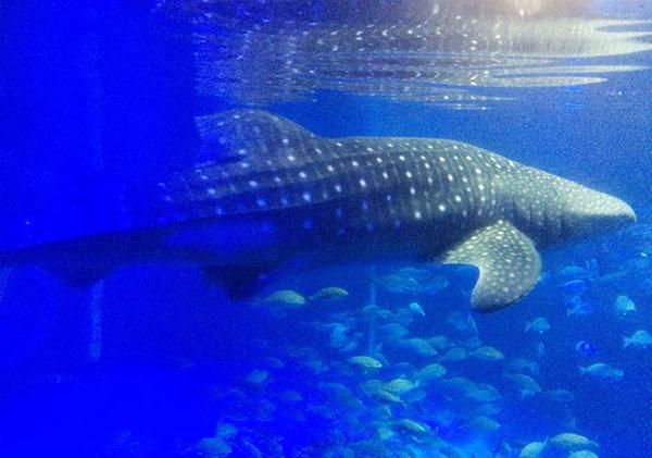 whale-shark-notojima-aquarium-ishikawa